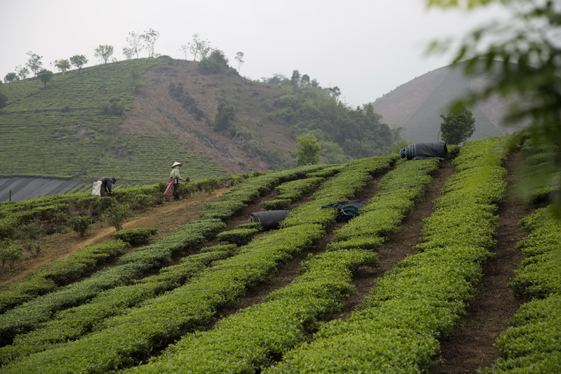 Moc Chau Tea plantation