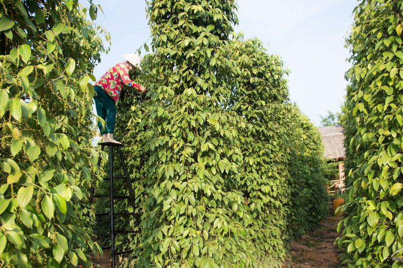 Pepper plantation on Phu Quoc island